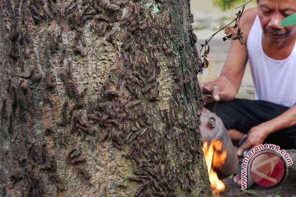 Bulu yang memenuhi pohon di dekat rumahnya. (foto antara/siswowidodo