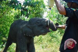 Uni Eropa adopsi anak gajah dari Leuser