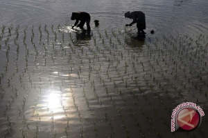 Petani Indramayu mulai kesulitan air
