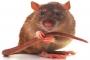 Singapura perang melawan tikus