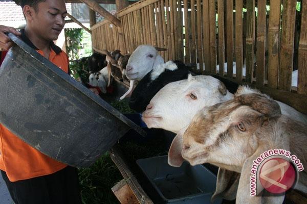 Pemkab Pandeglang kembangkan peternakan kambing perah