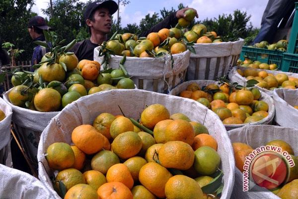 Pemkab Bangka Tengah  targetkan jadi pusat penghasil jeruk