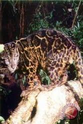 Warga tangkap macan tutul di kampung Cipari, Garut