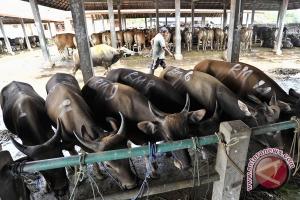 Badung jadi sentral pembibitan sapi di Bali