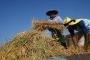 Ngawi panen padi organik perdana teknologi LIPI