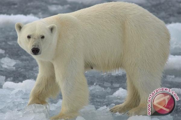 Beruang kutub mati karena virus herpes zebra