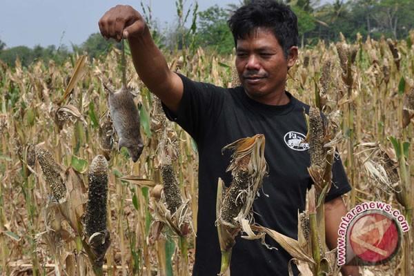 Hama tikus serang belasan hektare areal jagung