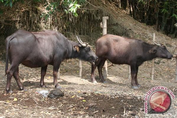Kementerian Pertanian bantu pengembangan kerbau di Lebak