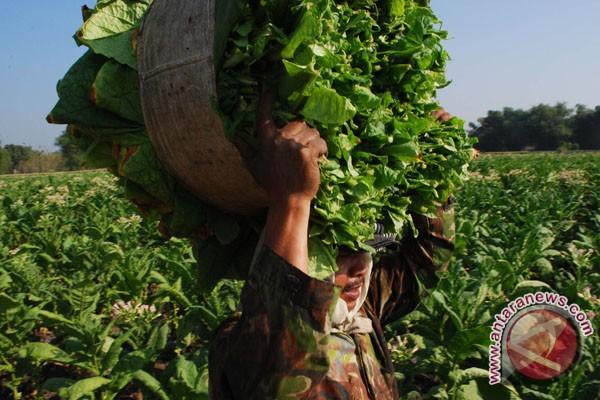 Panen akhir tembakau Bojonegoro akhir September