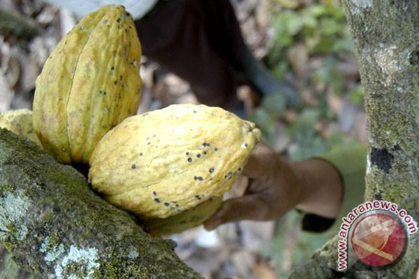 Pemkab Madiun kembangkan budidaya kakao