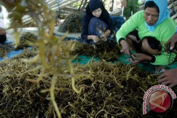 Rumput laut mencegah gigi keropos!