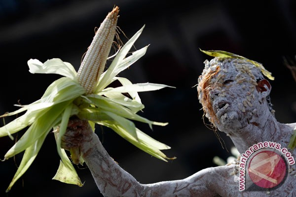 Petani Tiongkok tanam jagung transgenik secara ilegal