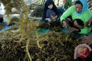 Harga Rumput Laut