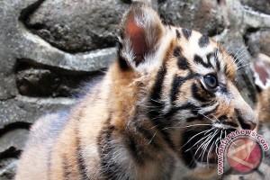 Warga Agam temukan anak harimau