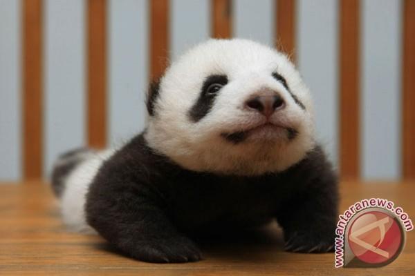 Panda Shin Shin melahirkan di KB Tokyo
