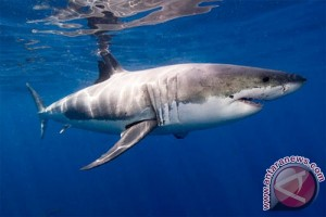 Pantai timur Australia ditutup karena hiu putih