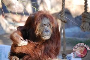 Aktivis minta BKSDA kembalikan orangutan
