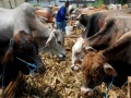 Seorang pedagang memberikan pakan pada sapi, hewan kurban yang dijual di areal penjualan hewan kurban, Surabaya, Jatim, Selasa (1/11). Menjelang hari raya Idul Adha 1432 Hijriah, harga hewan kurban mengalami kenaikan yang signifikan 20 hingga 30 persen. (FOTO ANTARA/M Risyal Hidayat)