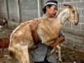 Seorang santri menggendong seekor kambing yang hendak dijadikan kurban di Ponpes Lirboyo, Kediri, Jawa Timur, Minggu (6/11). Ponpes Lirboyo menyembelih 100 ekor kambing bantuan dari Pemerintah Turki yang dibagikan pada masyarakat kurang mampu sekitar pesantren. (FOTO ANTARA/Arief Priyono/nz/11).