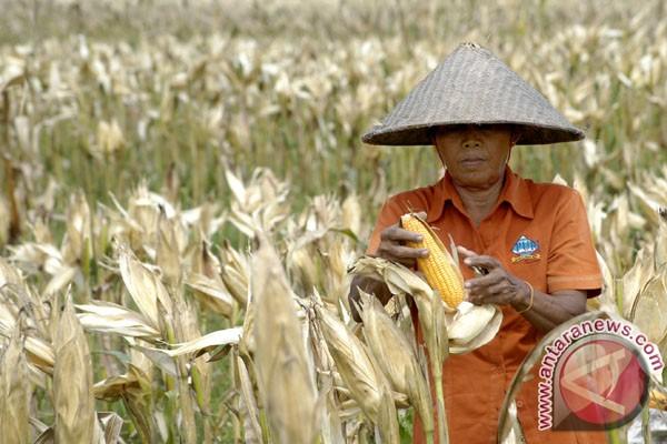 Petani jagung gagal panen akibat kemarau