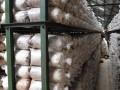 Seorang pekerja memeriksa tempat tumbuhnya jamur tiram (baglog) pada proses inkubasi di CV. Asa Agro Corporation, Cianjur, Jabar, Minggu (11/12). Usaha budidaya jamur tiram (Pleurotus ostreatus) merupakan salah satu peluang bisnis karena selain teknologi budidayanya mudah dipelajari, sklala usaha fleksibel yang dapat disesuaikan denagn modal, juga permintaan pasar yang terus meningkat. (FOTO ANTARA/Saptono)