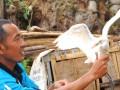 Enjang Yusuf (53) merawat seekor burung kuntul yang terluka akibat perburuan liar di lokasi penangkaran dan perawatan burung itu di Kampung Cikole, Desa Margamulya, Kec. Sukaresik, Kab. Tasikmalaya, Jabar, Selasa (20/12). Warga di daerah tersebut sangat peduli menjaga kelestarian burung Kuntul yang populasinya terancam punah dan akan melakukan tindakan tegas bila ada orang yang melakukan perburuan. (FOTO ANTARA/Feri Purnama)