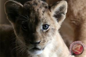 Singa kembali berkeliaran di Nairobi