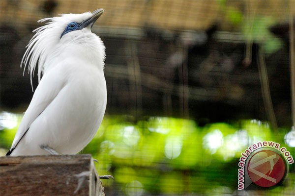 Indonesia, Japan cooperating to conserve Bali`s myna bird