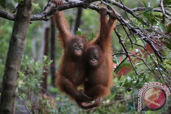 Perburuan orangutan di Kaltim masih terjadi