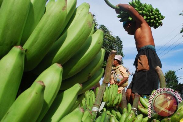 Dikembangkan, varietas pisang super