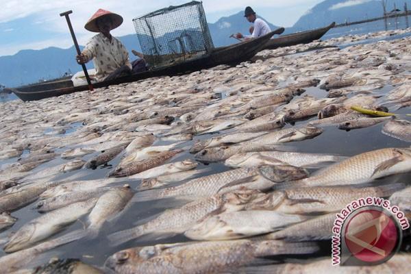 Sekitar 16,5 ton ikan Danau Maninjau mati mendadak
