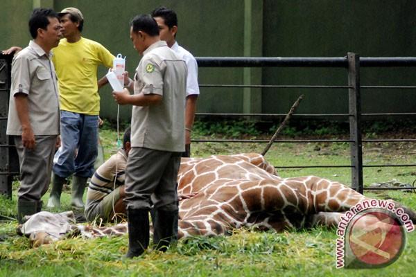 Jerapah di Kebun Binatang Surabaya tergeletak sakit