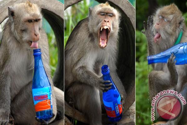 Monyet-monyet turun gunung cari makan