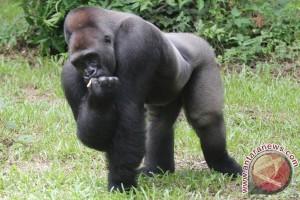 Gorila dibunuh karena bocah terjatuh ke kandangnya