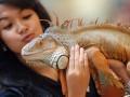 Seorang perempuan memegang reptil jenis Iguana Iguana ketika pameran reptil di Plasa BG Junction, Surabaya, Jatim, Selasa (3/4). Kegiatan yang memamerkan berbagai jenis reptil dari berbagai negara tersebut bertujuan untuk mengenalkan reptil kepada masyarakat, sekaligus kampanye terhadap perlindungan satwa langka. (FOTO ANTARA/M Risyal Hidayat)