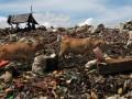 Sejumlah hewan ternak mencari makan di Tempat Pembuangan Akhir (TPA) Antang, Makassar, Sulsel, Jumat (20/4). TPA tersebut selain menjadi sumber ekonomi para pemulung, juga dijadikan lahan penggembalaan ternak sapi pedaging. (FOTO ANTARA/Zabur Karurur)