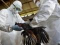 Petugas Dinas Peternakan dan Kelautan Pemkot Denpasar menyuntikkan zat kimia saat pemusnahan ratusan unggas karena flu burung di Pasar Burung, Denpasar, Bali, Kamis (26/4). Sebanyak 231 ayam jago dan 11 itik yang diperjualbelikan di pasar itu terpaksa dimusnahkan karena hasil test cepat yang dilakukan petugas terhadap sampel ayam menunjukkan positif terinfeksi virus H5N1. (FOTO ANTARA/Nyoman Budhiana)