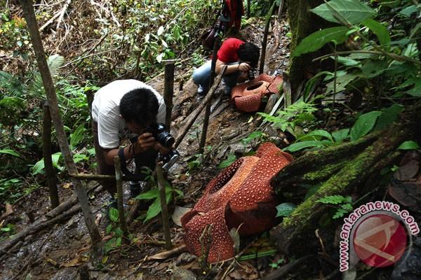 Dua Rafflesia Arnoldii mekar di Taba Penanjung