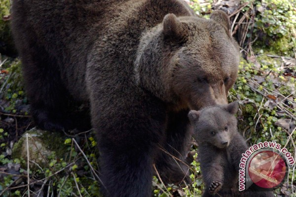 Keluarga beruang tenggak 100 kaleng bir