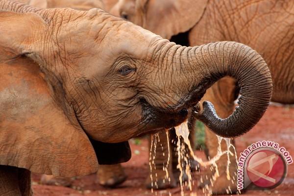 Gajah Kamerun terancam punah paling lambat 2020