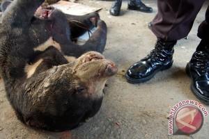 Beruang madu ditembak mati karena masuk pemukiman