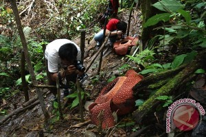 Five Rafflesia arnoldii to bloom in Seluma, Bengkulu