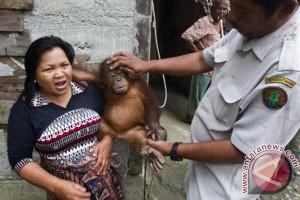 Seekor bayi orangutan diselamatkan di Rawa Tripa