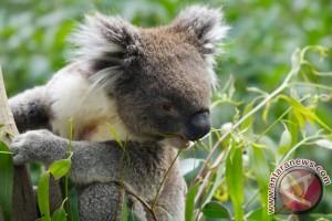 Oldest koala in N. America celebrates - sleepily - her 18th birthday