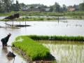 Seorang petani menyiram bibit padi yang ditanamnnya di rawa atau lebak di kawasan Jakabaring, Palembang, Sumatera Selatan, Sabtu (26/5). Sawah lebak mendominasi persawahan di daerah itu yang luasnya mencapai 8.133 hektare dengan produksi padi sebanyak 4,2 ton per hektar. (FOTO ANTARA/Nila Fu'adi)