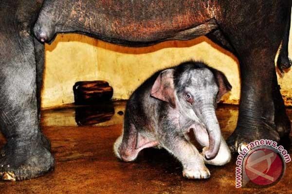 Bayi gajah TSI diberi nama