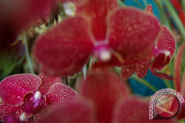 Peneliti lipi temukan anggrek baru asal Kinabalu