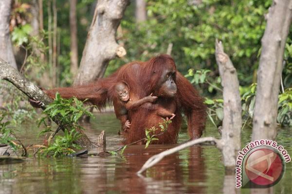 Satgas lepas tiga orangutan di Taman Nasional Kutai