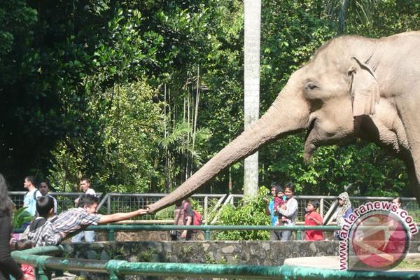Gajah Riau mati diracun di kebun sawit