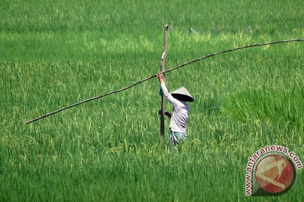 43,8 hektare sawah Sumut alami gagal panen